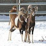 Cypriot-mouflon