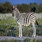 Equus_quagga