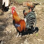 Gallic-rooster
