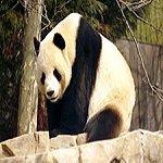 Giant_Panda