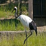 Red-crowned_Crane