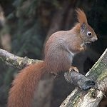 Red-squirrel
