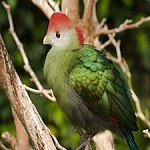 Redcrested-Turaco