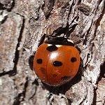 Seven-spot-ladybird